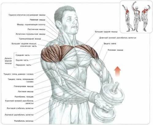 Какие мышцы работают при поднятии гантели