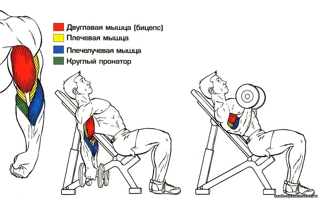 Упражнения для развития мышц Бицепса (Двуглавой мышцы плеча) .